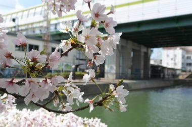 藤森駅とさくら