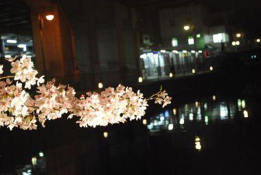 疎水の夜桜