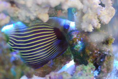 海水魚の皇帝